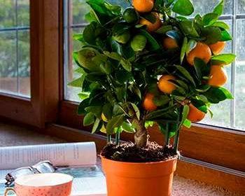 Плоды апельсина от мини дерева